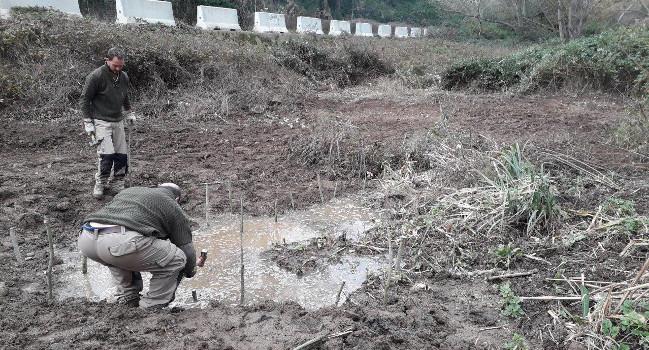 L'Ajuntament elimina canya americana del riu Ripoll i hi planta espècies autòctones