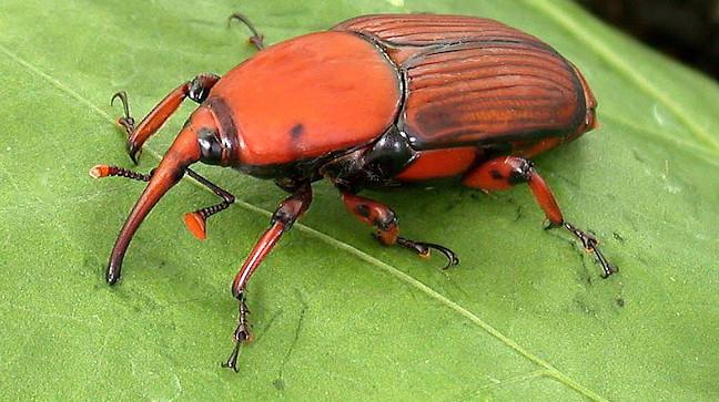 L'Ajuntament tracta preventivament 58 palmeres perquè no agafin l'escarabat morrut