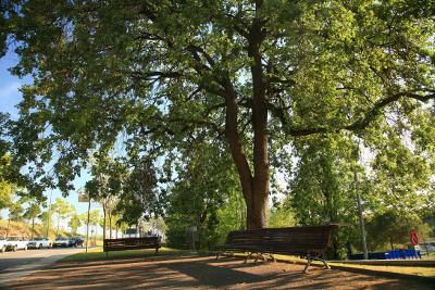 L'Ajuntament senyalitza els arbres més grossos de la ciutat
