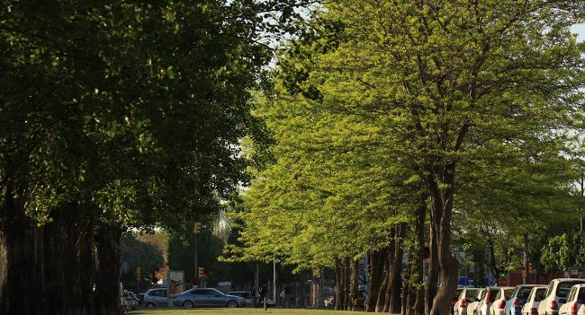 El Pla director de l'arbrat viari de Sabadell, una eina  per redefinir el disseny i la gestió dels arbres plantats dins el nucli urbà