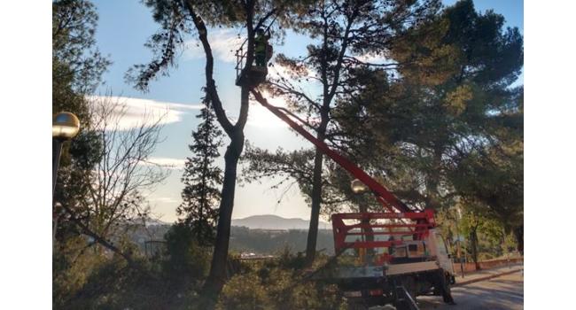 Comença l'actuació que permetrà substituir pins blancs del carrer de Santa Teresa per espècies més idònies