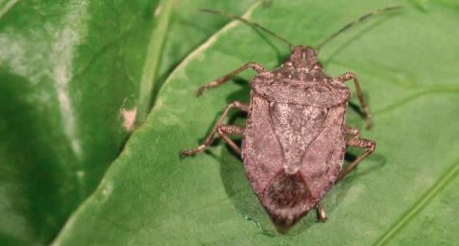 Recomanacions per actuar davant la presència de l'insecte bernat marró marbrejat