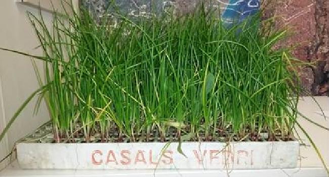 L'Ajuntament reparteix planter de la ceba de Sabadell a horticultors particulars i professionals