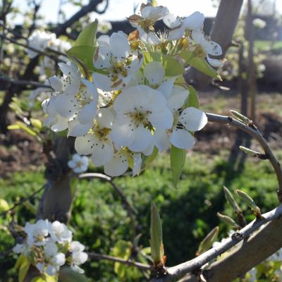 El parc del Nord compta amb 6 pomeres en espatllera, la tècnica de cultiu tradicional dels fruiters de Lleida
